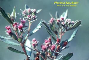 Pluchea baccharis