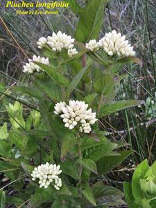 Pluchea longifolia