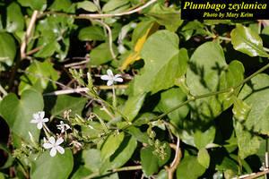 Plumbago zeylanica