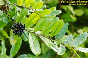 Polyalthia suberosa