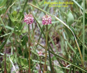 Polygala brevifolia