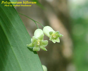 Polygonatum biflorum