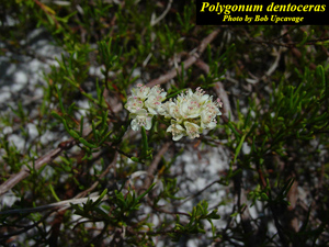 Polygonum dentoceras