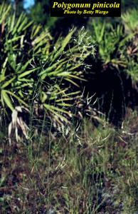 Polygonum pinicola