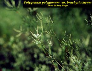 Polygonum polygamum var. brachystachyum