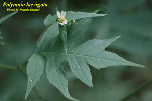 Polymnia laevigata