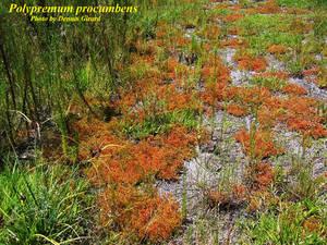 Polypremum procumbens