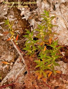 Proserpinaca palustris