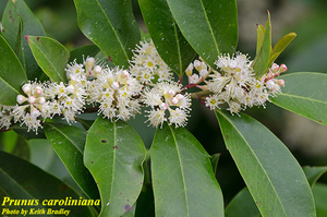 Prunus caroliniana