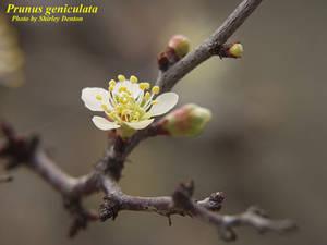 Prunus geniculata