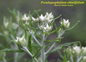 Pseudognaphalium obtusifolium