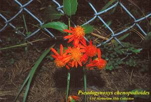 Pseudogynoxys chenopodioides