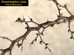 Pseudoziziphus celata