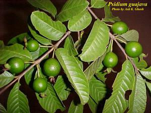 Psidium guajava