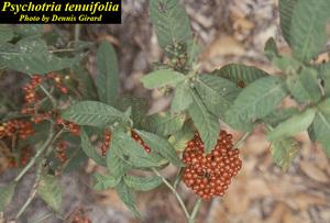 Psychotria tenuifolia