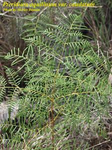 Pteridium aquilinum var. caudatum