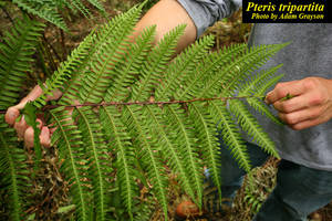 Pteris tripartita