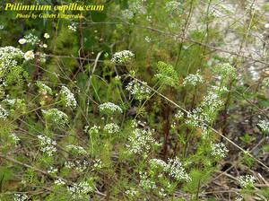 Ptilimnium capillaceum
