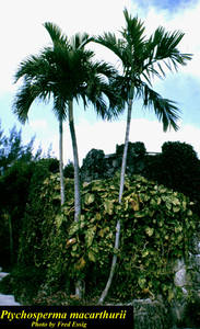 Ptychosperma macarthurii