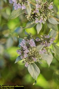 Pycnanthemum albescens