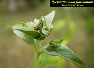 Pycnanthemum floridanum
