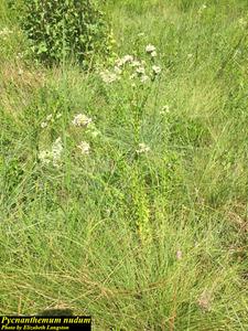 Pycnanthemum nudum