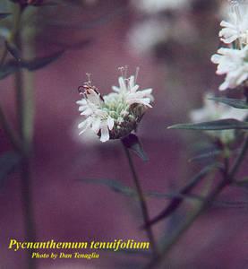 Pycnanthemum tenuifolium