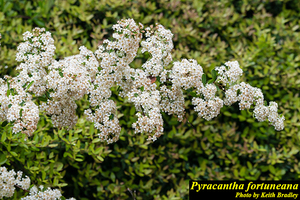 Pyracantha fortuneana