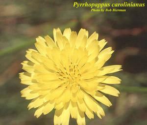 Pyrrhopappus carolinianus