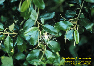 Quadrella jamaicensis
