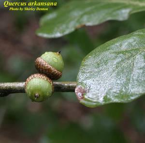 Quercus arkansana