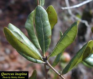 Quercus inopina