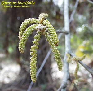 Quercus laurifolia