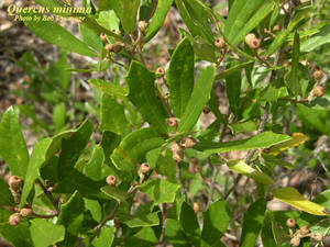 Quercus minima