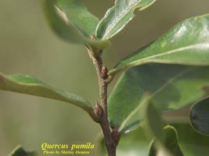 Quercus pumila
