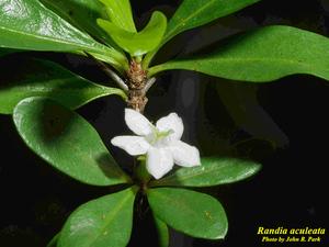 Randia aculeata