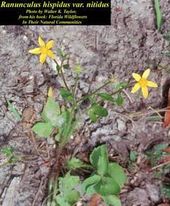 Ranunculus hispidus var. nitidus