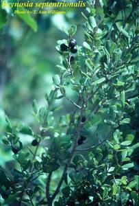 Reynosia septentrionalis