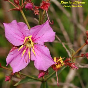Rhexia alifanus