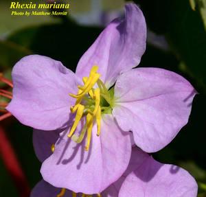 Rhexia mariana