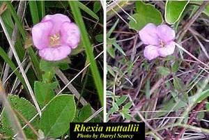 Rhexia nuttallii