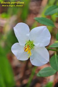 Rhexia parviflora