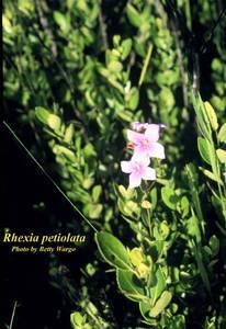 Rhexia petiolata