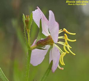 Rhexia salicifolia