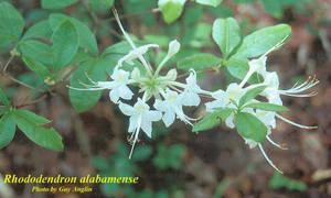 Rhododendron alabamense