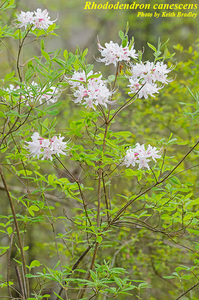 Rhododendron canescens
