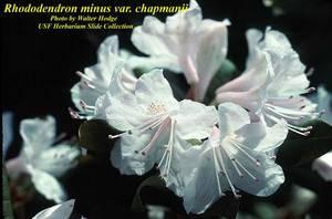 Rhododendron minus var. chapmanii
