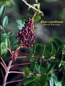 Rhus copallinum