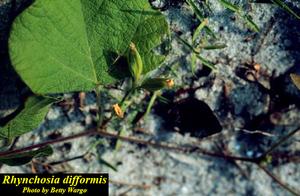 Rhynchosia difformis