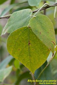Rhynchosia precatoria